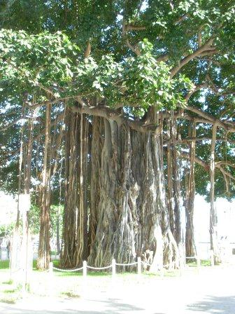 Chinese music under banyan tree, here at the dude ranch across the sea